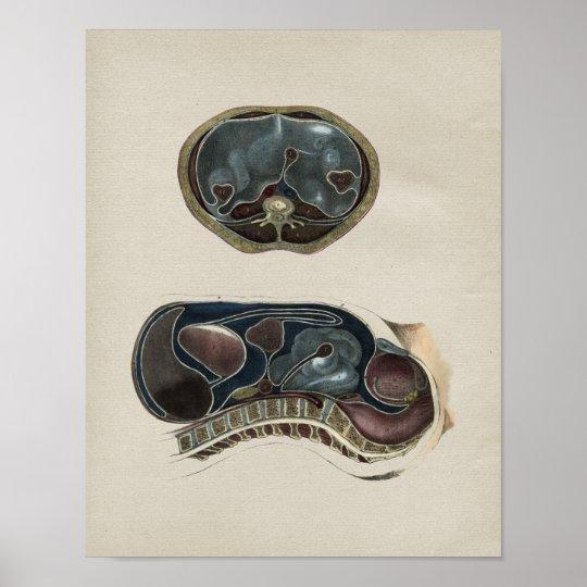 Human Abdominal Anatomy Vintage Print