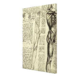 Human Anatomy Male Muscles by Leonardo da Vinci Canvas Print