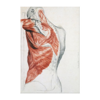 Human Anatomy; Muscles of the Torso and Shoulder Canvas Print