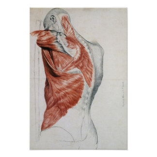 Human Anatomy; Muscles of the Torso and Shoulder Posters