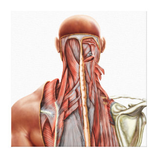 Human Anatomy Showing Deep Muscles In The Neck Gallery Wrapped Canvas