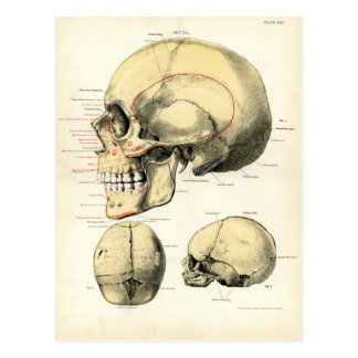 Human Anatomy - The Skull Postcard