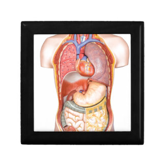 Human body model with organs isolated on white small square gift box