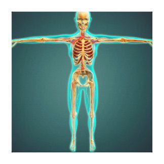 Human Body Showing Skeletal System, Arteries 1 Canvas Prints