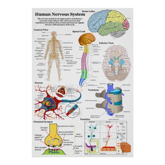 Human Brain and Central Nervous System Diagram Poster