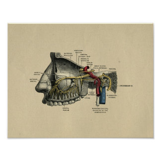 Human Dental Nerves Anatomy 1902 Vintage Print