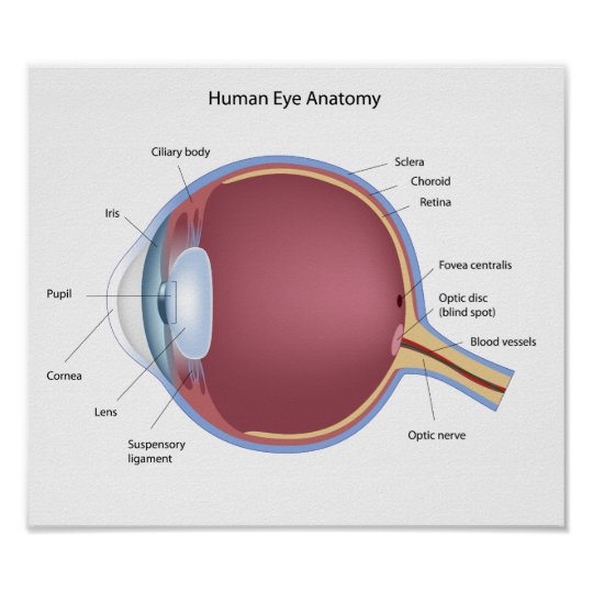 Human Eye Anatomy Poster