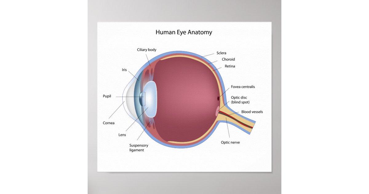 Human Eye Anatomy Poster | Zazzle.co.uk