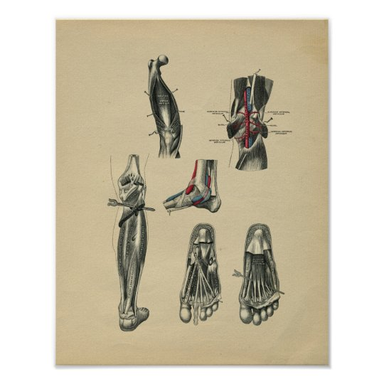 Human Foot Leg Anatomy 1902 Vintage Print