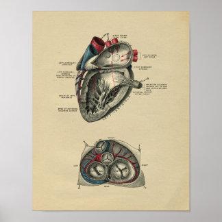 Human Heart Anatomy 1902 Vintage Print