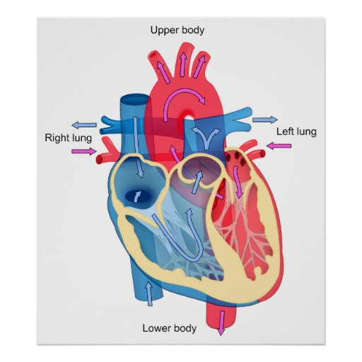 Human Heart Diagram Showing Blood Oxygen Pathways Poster ...