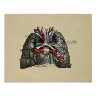 Human Heart Lungs Anatomy 1902 Vintage Print
