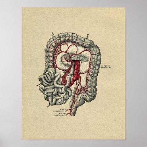 Human Intestinal Anatomy 1902 Vintage Print