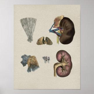 Human Kidney Anatomy Vintage Print