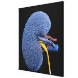 Human Kidney Circulation Canvas Print