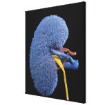 Human Kidney Circulation Canvas Prints