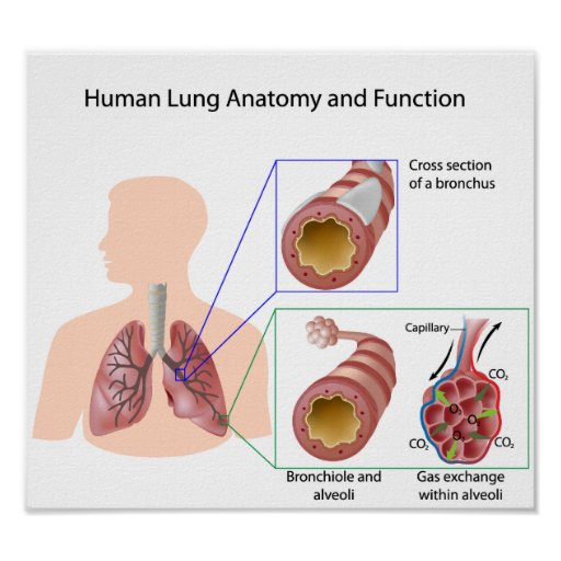 Human lung anatomy and function Poster