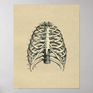 Human RibCage Anatomy 1902 Vintage Print