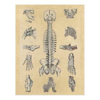 Human Skeletal System Postcard