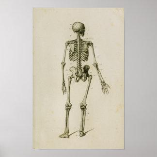 Human Skeleton Posterior Vintage Anatomy Print