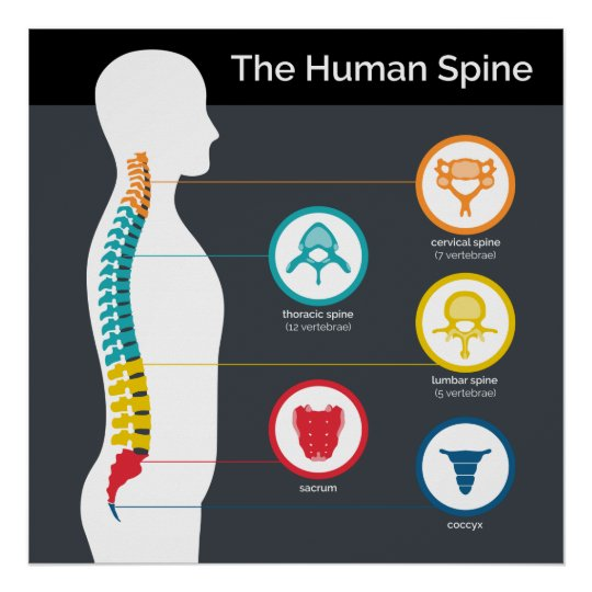 Human Spine Anatomy Chart Poster
