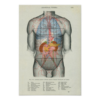 Human Surface Anatomy Relation to Organs Poster