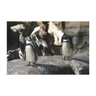 Humboldt Penguin Stretched Canvas Print