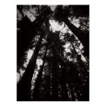 Humboldt Redwoods State Park- Black and White Poster