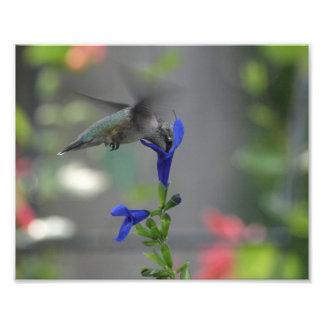 Humming Bird salvia sapphire blue print Photographic Print