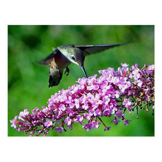 Hummingbird 4 postcard