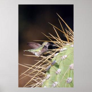 Hummingbird Gathering Nest Material Poster