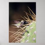 Hummingbird Gathering Nest Material Posters