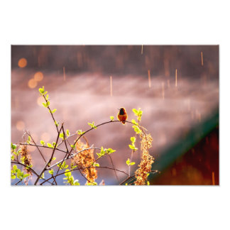 Hummingbird in Rain Shower Art Photo
