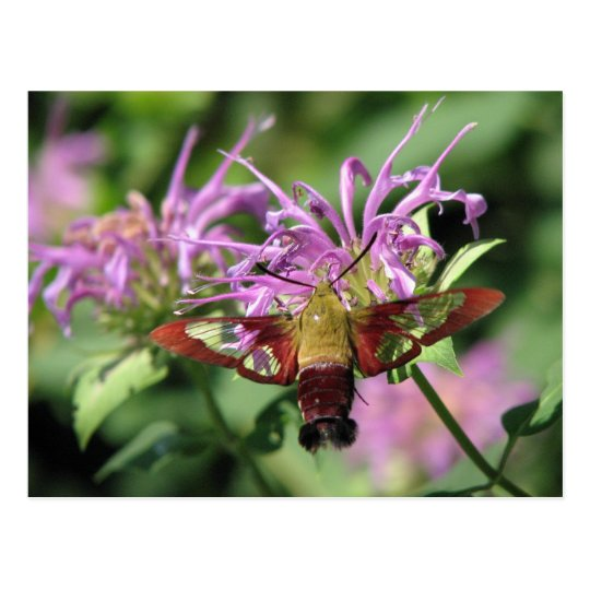 Hummingbird Moth Postcard