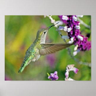Hummingbird Nectar Poster