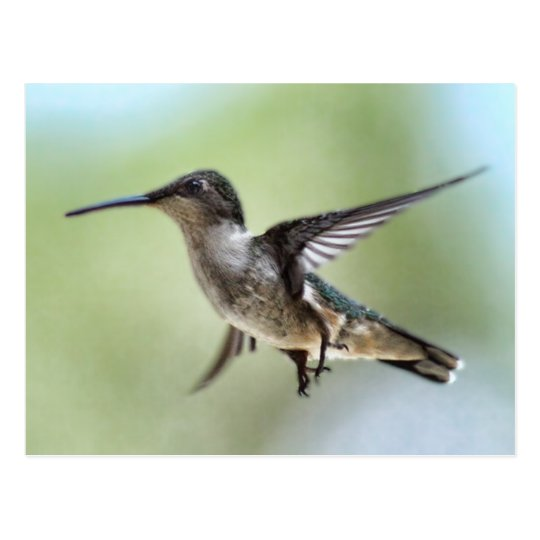 Hummingbird Photo Postcard