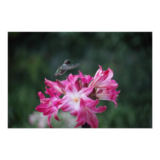 hummingbird with belladonna lilies poster