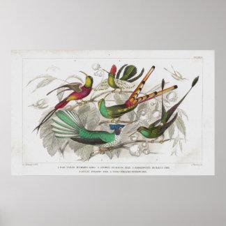 Hummingbirds Antique Lithograph print