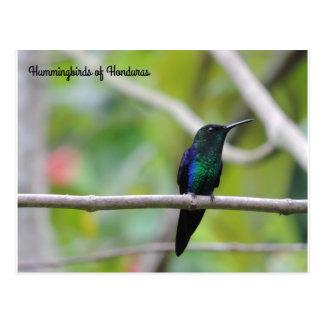 Hummingbirds of Honduras Postcard