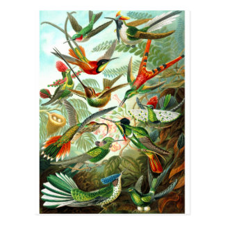 Hummingbirds Postcard