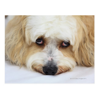 humorous close-up of bichon frise dog postcard