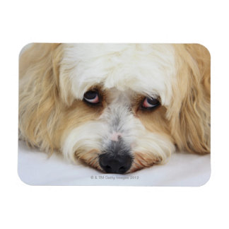 humorous close-up of bichon frise dog rectangular photo magnet