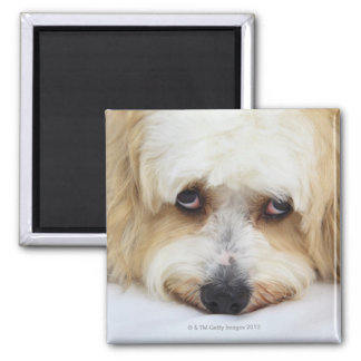 humorous close-up of bichon frise dog square magnet