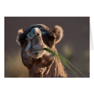 Hump Day Camel Feasting on Green Grass Card