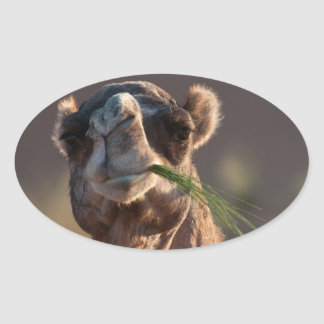 Hump Day Camel Feasting on Green Grass Oval Sticker