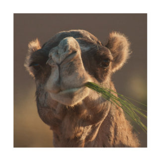 Hump Day Camel Feasting on Green Grass Wood Canvas