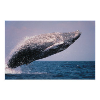 Humpback Whale Breaching Poster
