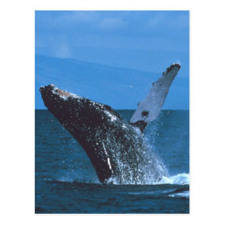 Humpback whale Jumping Post Card