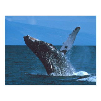 Humpback whale Jumping Postcards
