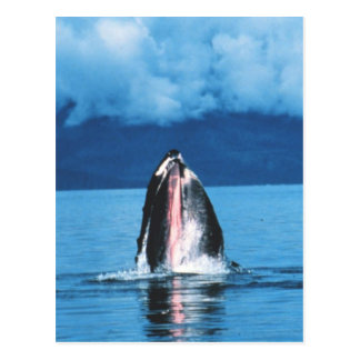Humpback Whale Rising Postcards
